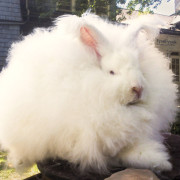 giant angora rabbit